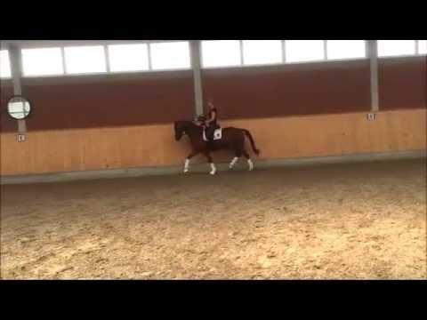 Santiamo – 5jähriger Trakehner Wallach – Verkaufspferd