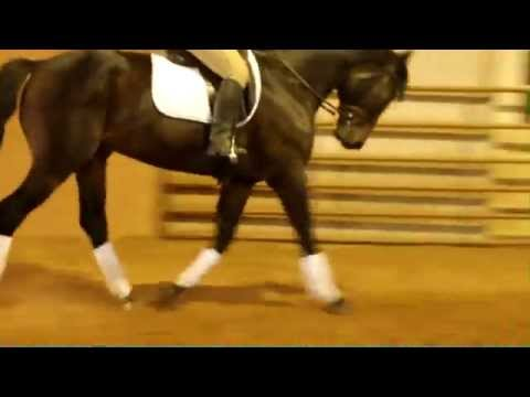 "Horse of Corff Ranch ""Deo"" – 2009 Trakehner bay gelding for sale"