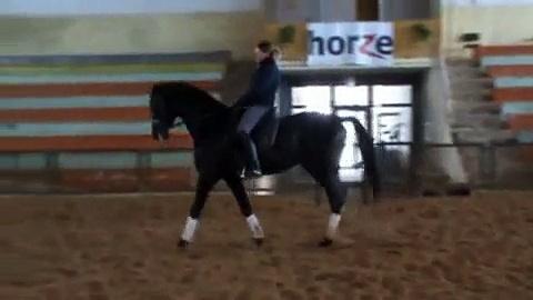 5v. trakehner ori, 5-y.o. trakehner stallion for sale, ratsumestarit@ratsumestarit.net
