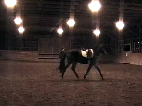 Trakehner Colt Der Romany by Tzigane *Pb* out of Dynamit by Bütow *E* Lungeing and Beginning Riding