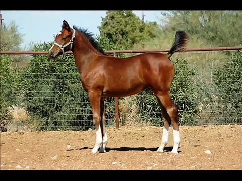Sold!!  Zane 2007 Trakehner colt by Aul Magic ox