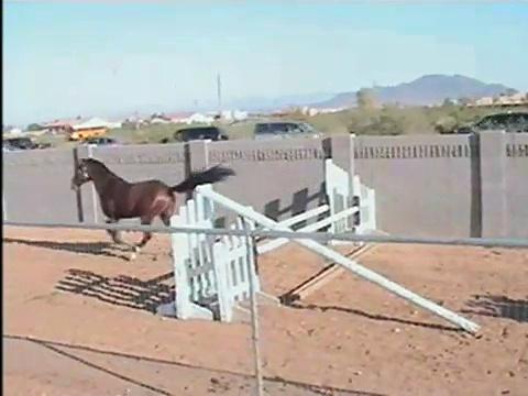 Khataba+ USDF Dressage Arab/Trakehner Stallion Free Jumping