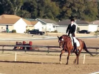 4 year old Trakehner Dressage or Hunter Mare for sale