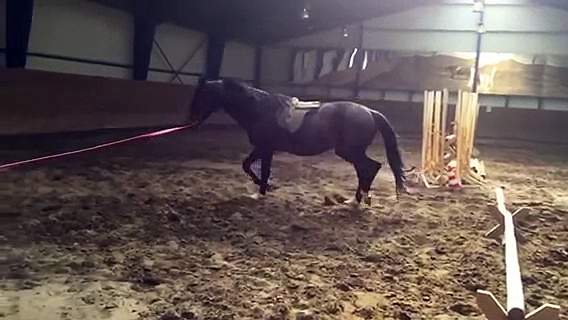 28. Hermes pure Russian trakehner 6yo stallion, 167cm height, 54% xx /ox.